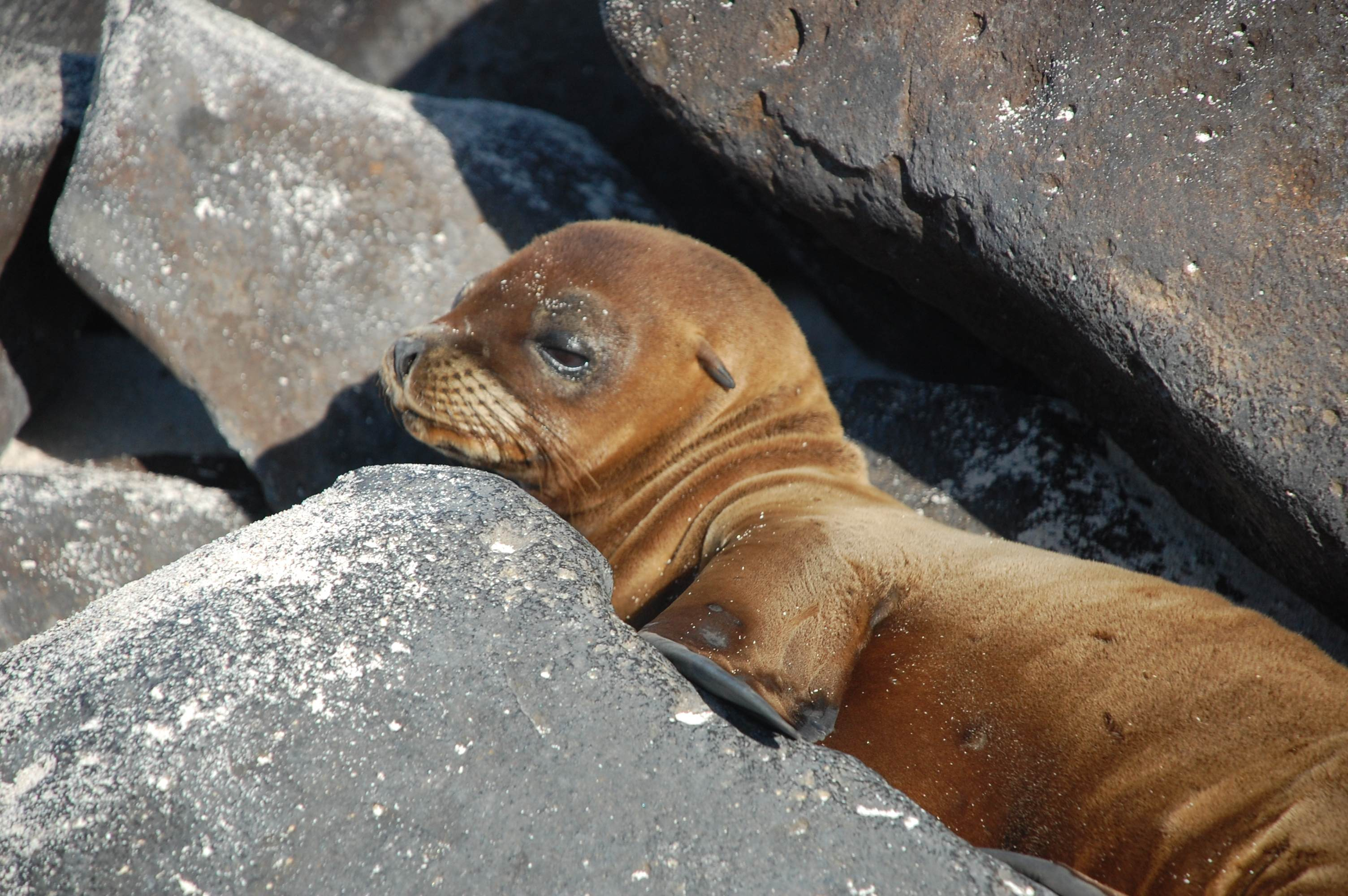 Baby Galapagos Sea Lion nestled in the warm rocks.
