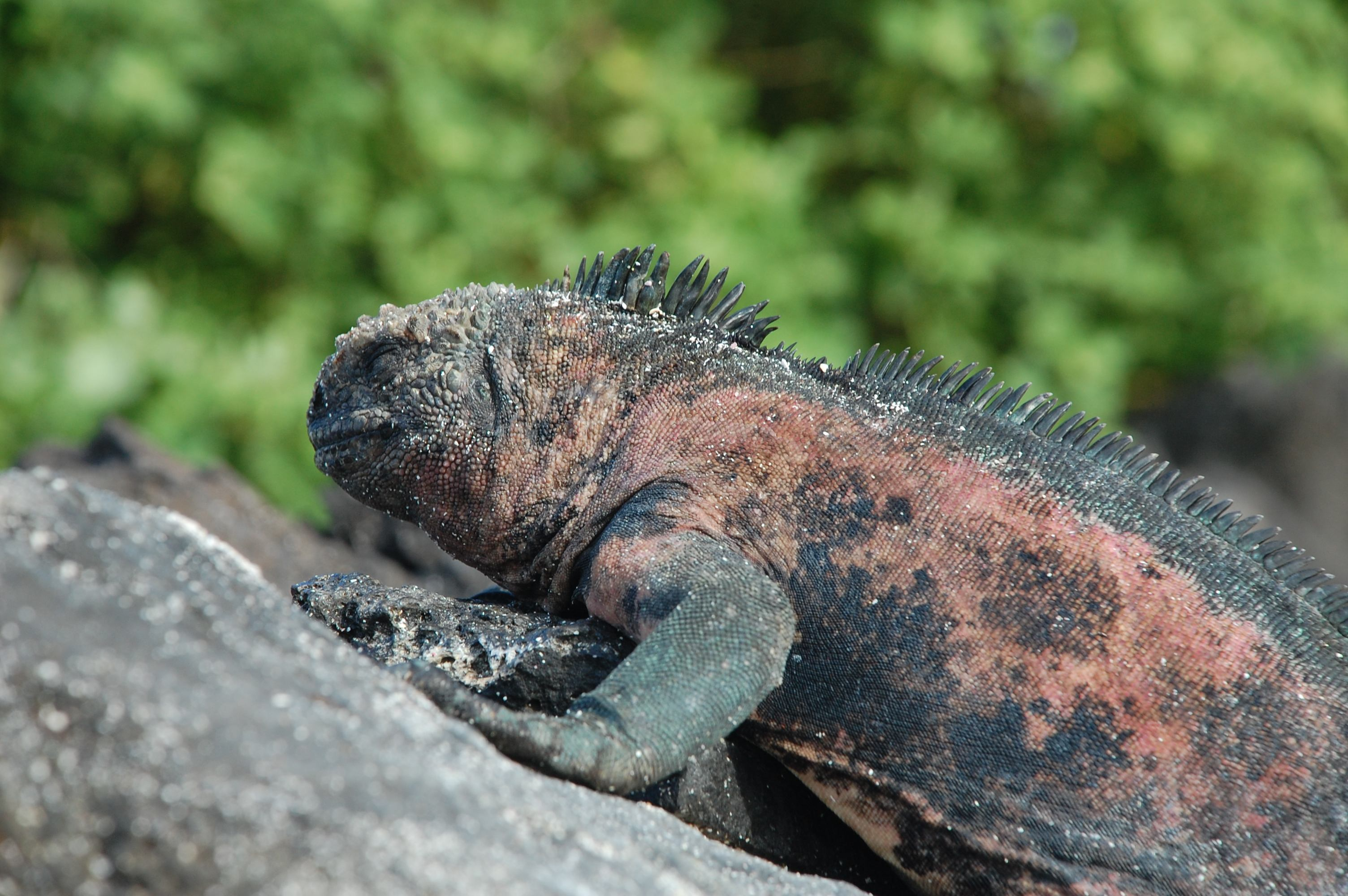 Large Marine Iguana