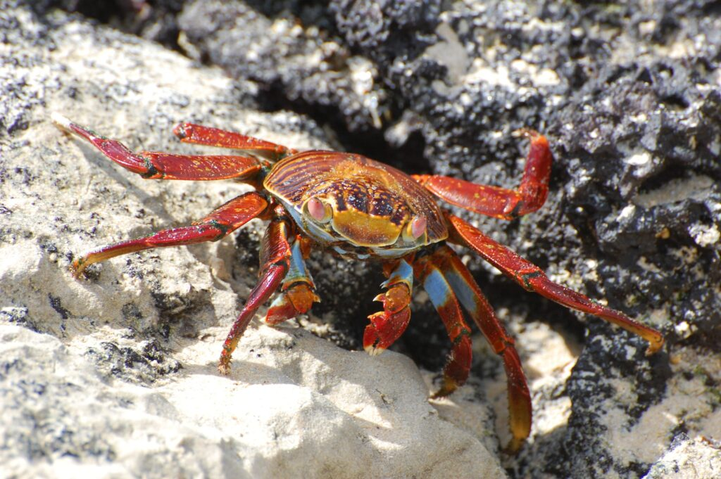 Beautiful red crab.