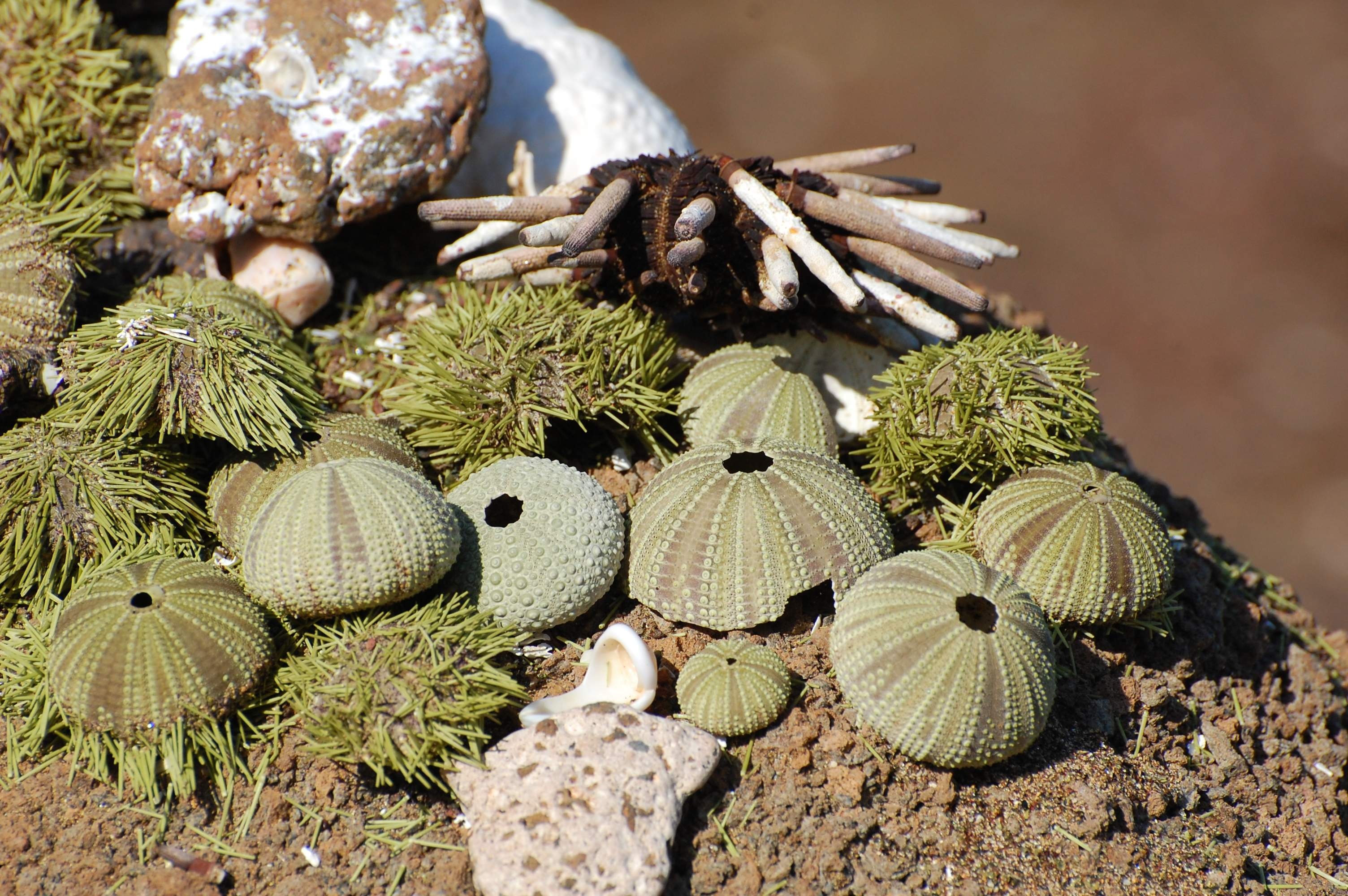 Sea Urchins and echinoderms.