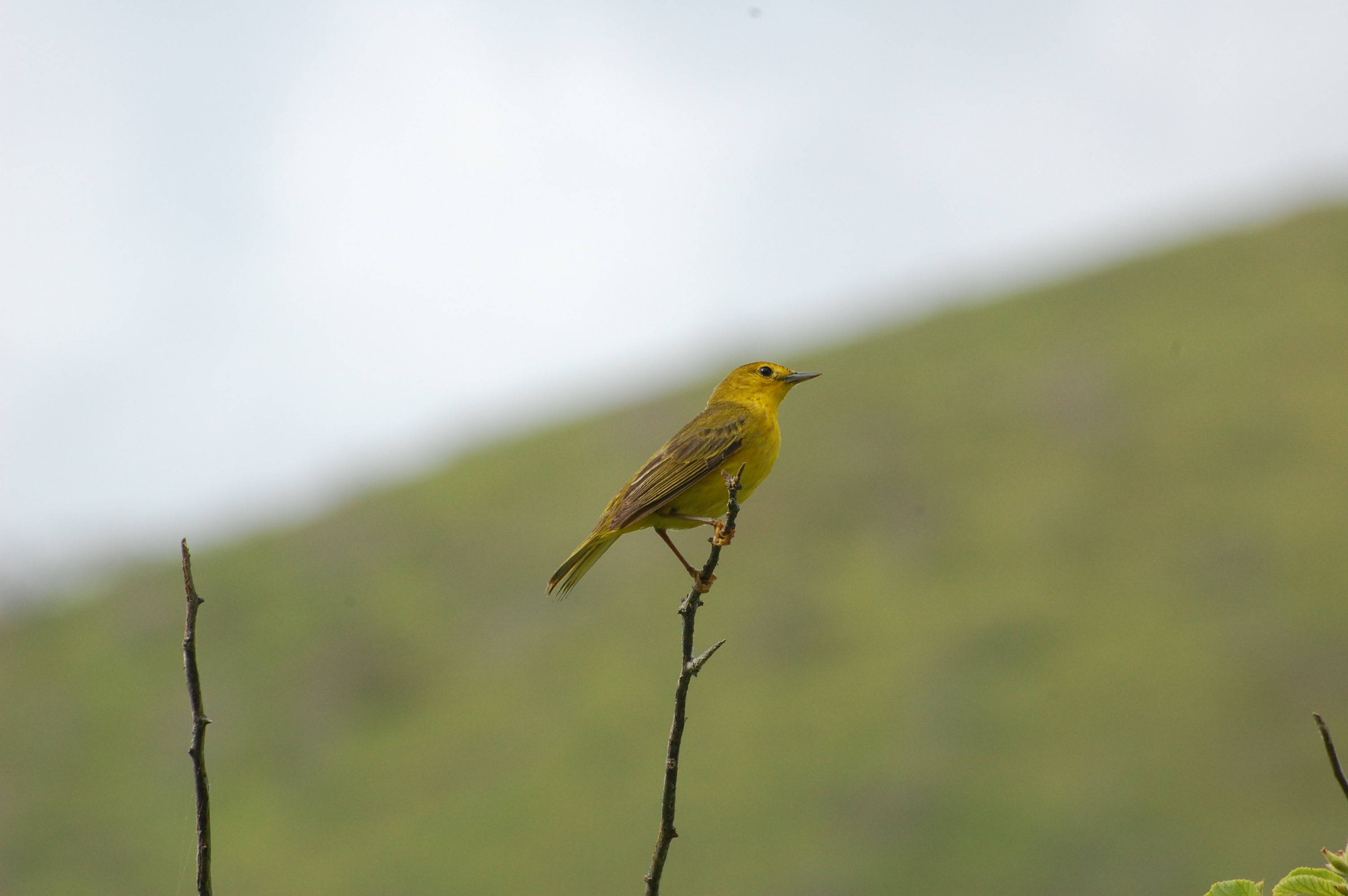 I believe this is a Yellow Warbler. If anyone knows for sure, please let me know.