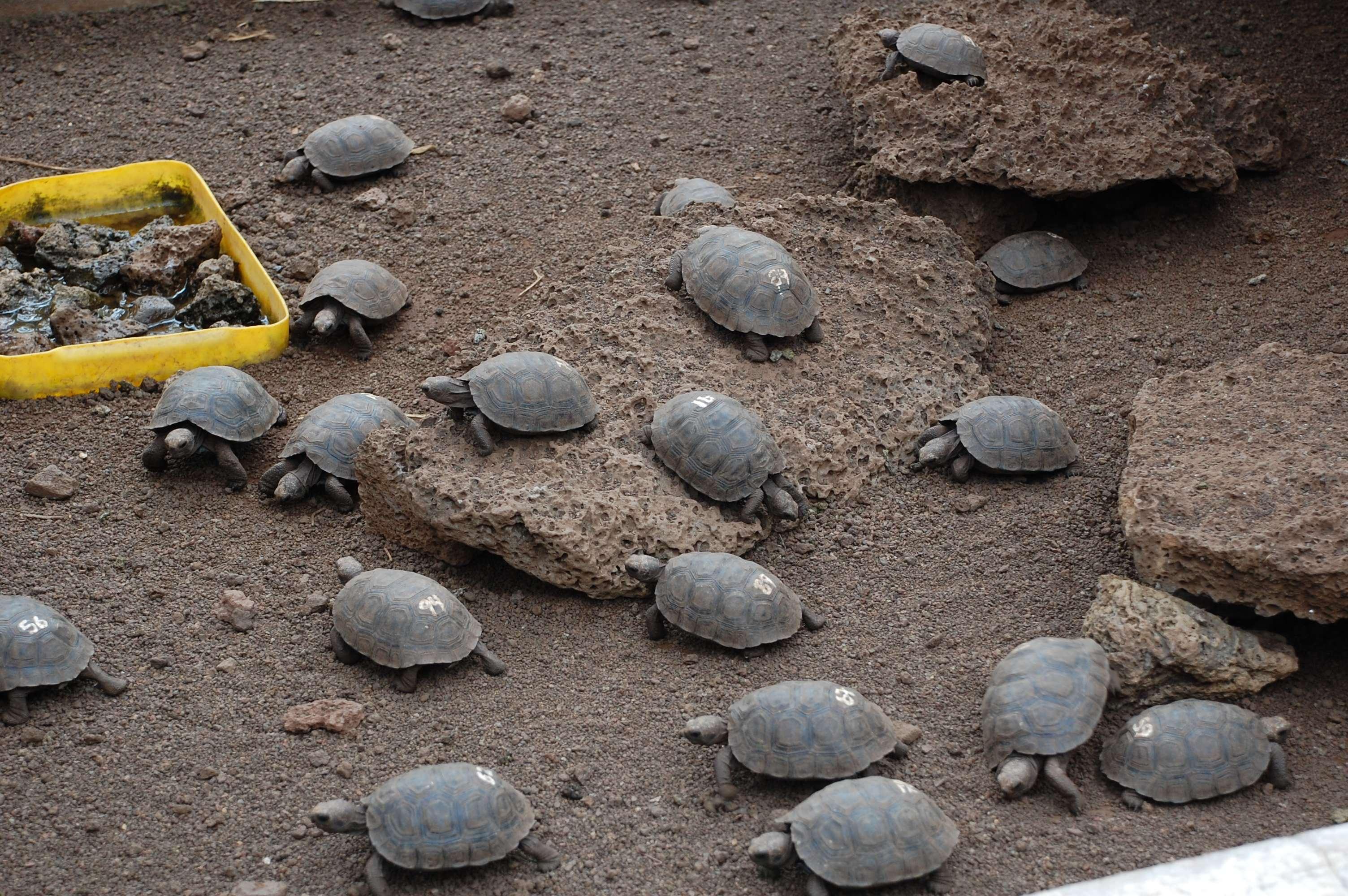 Galapagos Tortoise hatchlings being raised in their pens at Tortoise