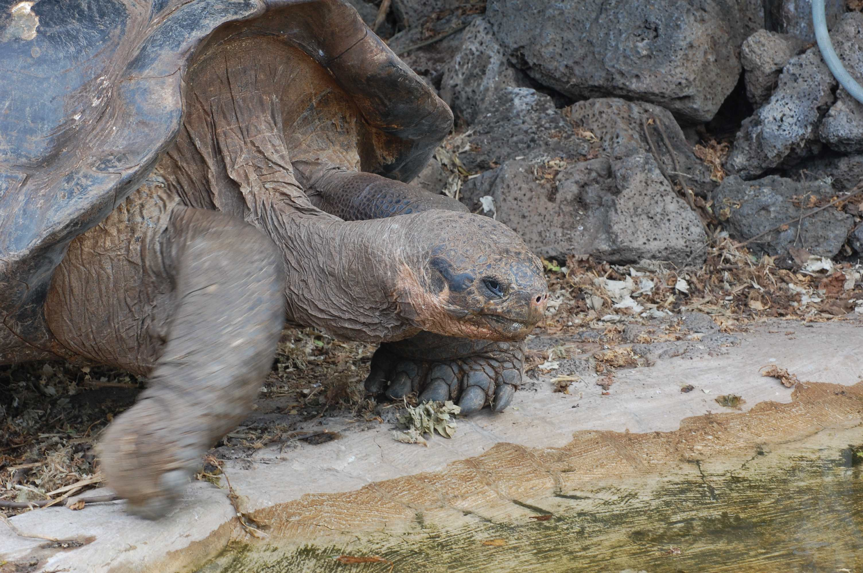 Notice the claw-like toes on this tortoise.