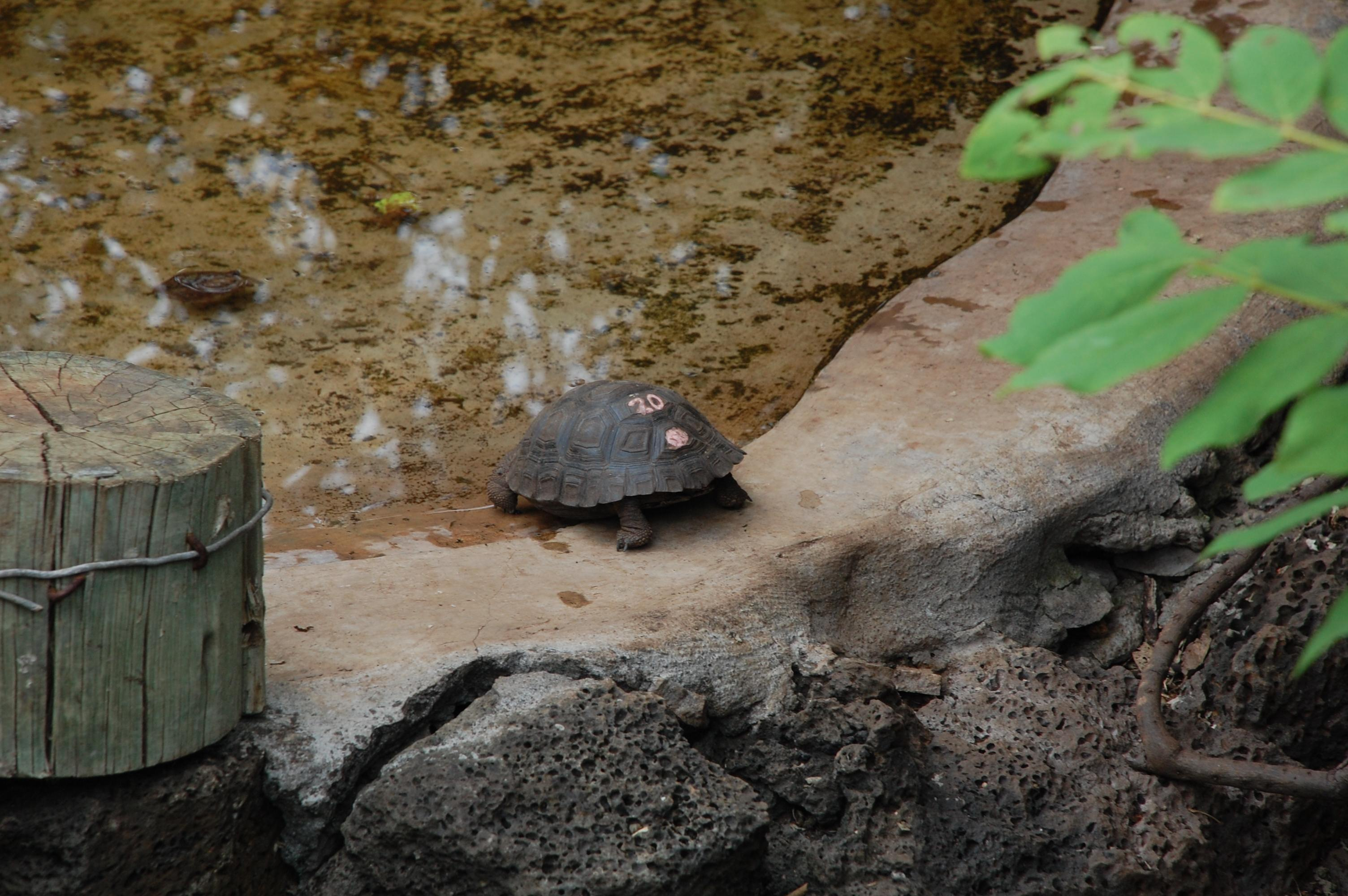 Growing up is so hard to do. It takes tortoises about 25 years to reach maturity.
