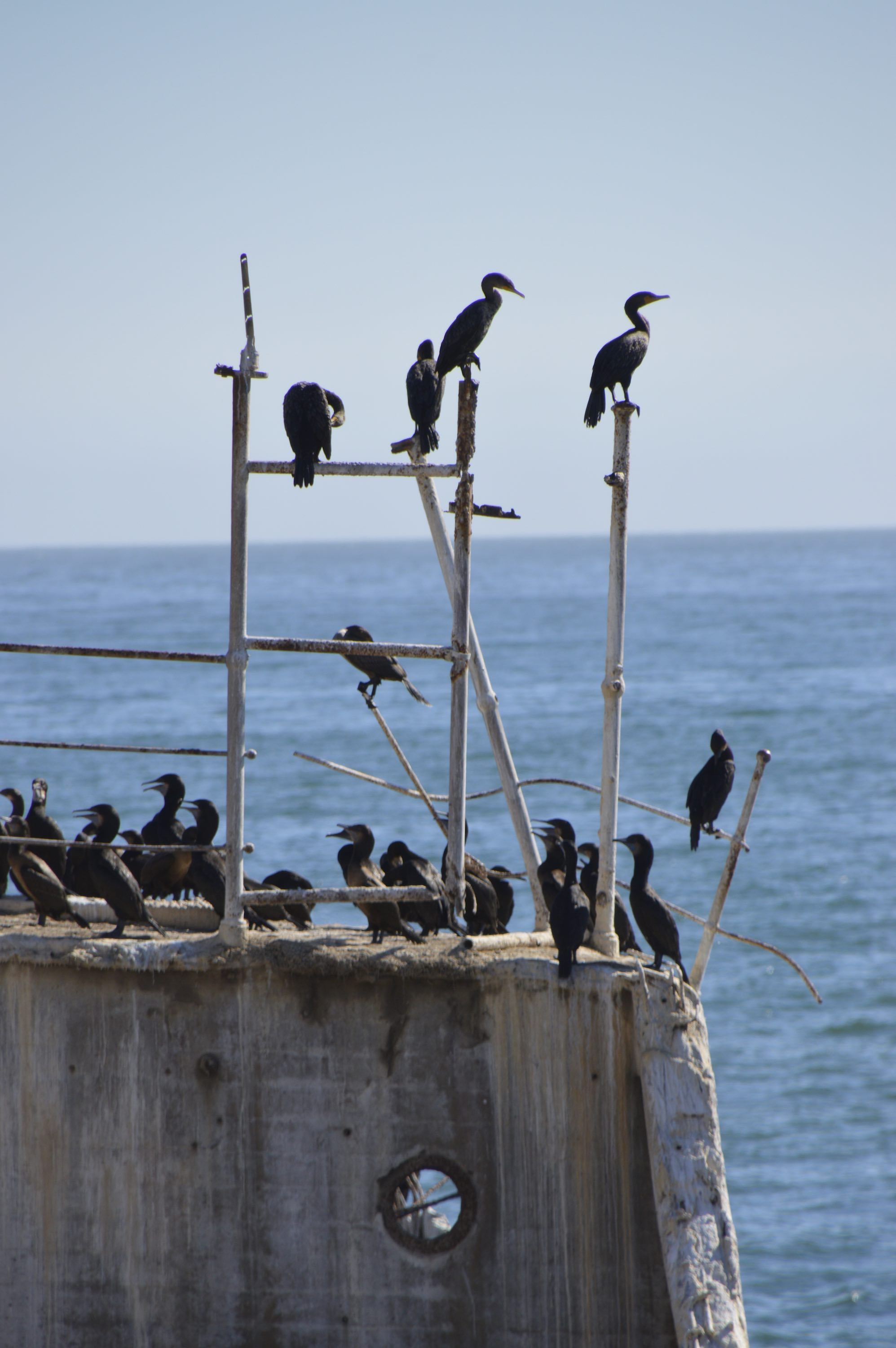 Cormorants dry off and socialize before diving again for their meals.