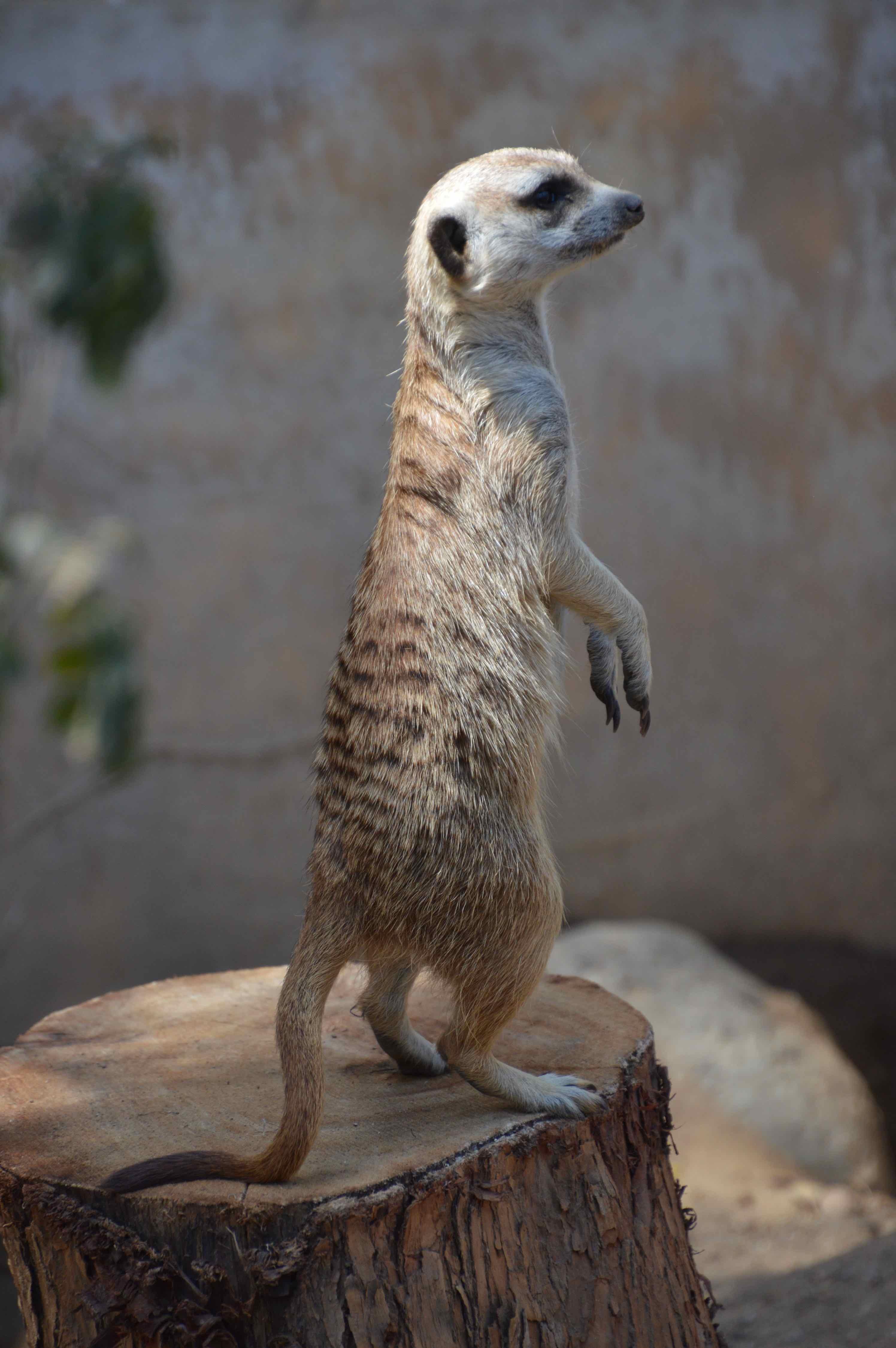 meercat1