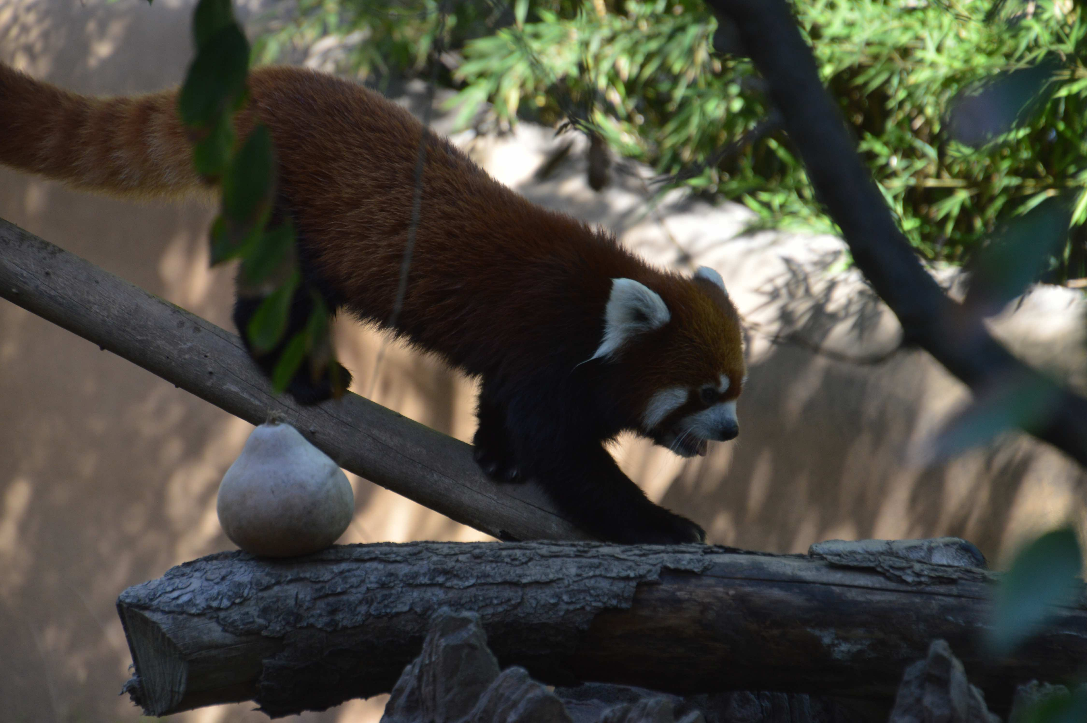 The red panda climbing around its enclosure and headed toward a favorite perch.
